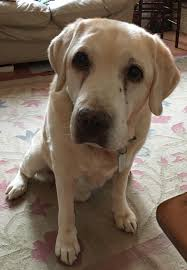 reddit meet bruno a retired guide dog u0026 therapy dog he is 15