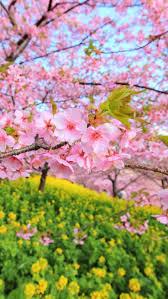 274 best spring images on pinterest alpine flowers alpine