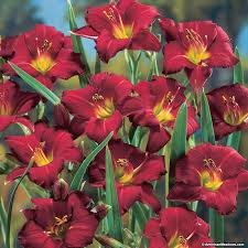 reblooming daylilies pardon me daylily hemerocallis american