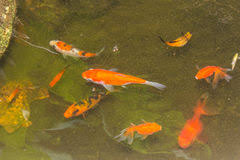 golden fish swimming in a pond stock images image 31547404