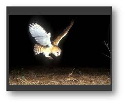 Scientific Name Of Barn Owl The Biology Of The Barn Owl Tyto Alba