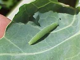 identifying insect pests garden org