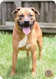 affenpinscher a donner westville in boxer mastiff mix meet wrigley a dog for