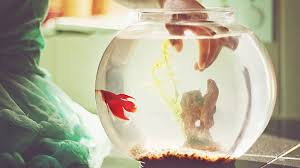 6 low maintenance pet fish that basically anyone can keep alive