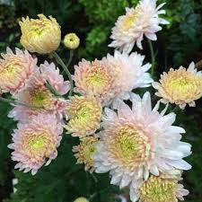 heirloom mums back in style