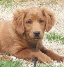 Comfort Retriever Puppies For Sale Miniature Golden Retrievers