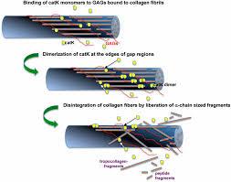 K Collagen structural basis of collagen fiber degradation by cathepsin k pnas