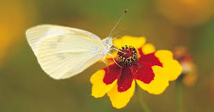 how to get rid of cabbage white butterfly and other garden pests
