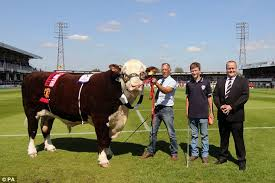Fa Vase Results 2014 Hereford Urged Not To Parade Bull Around Wembley By Animal Rights