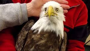 Connecticut travel fox images Fireworks threaten baby eagle in connecticut town fox news jpg