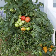 Types Of Patio Tomatoes Cherry Tomato Seeds 13 Top Cherry Tomatoes Vegetable Seeds