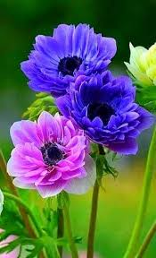 anemones flowers best 25 anemones ideas on anemone flower blue