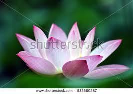 Lotus Flower Bloom - lotus flower bloom stock photo 216639706 shutterstock