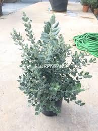 buxus sempervirens in vaso metrosideros excelsa diam 24 vivaio outdoor plants florpagano