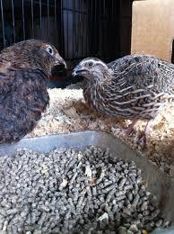 raising japanese quail jen owens