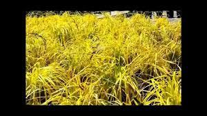 best ornamental grasses bowles golden sedge carex elata aurea