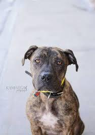 boxer dog utah american pit bull terrier dog for adoption in salt lake city ut