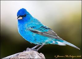 Utah birds images Utah bird profile indigo bunting jpg