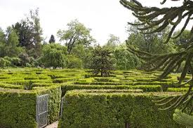 maze with a monkey puzzle tree in the middle picture of vandusen