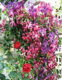 trellis roses great garden combos roses clematis for small space gardens