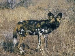 safari ltd african wild dog african wild dog instinct does not guarantee survival