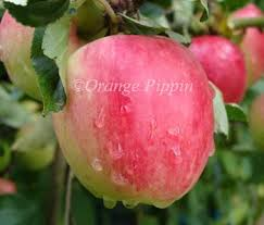 Online Fruit Trees For Sale - katy apple trees for sale buy online european delivery