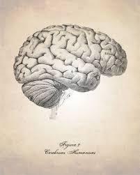 Image Of Brain Anatomy 25 Best Brain Tattoo Ideas On Pinterest Half Sleeve Tattoos
