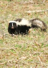 How Do You Get Rid Of Skunks In Your Backyard How To Get Rid Of Skunk Smell Bob Vila