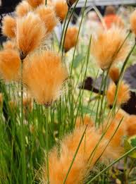 best 25 ornamental grasses ideas on pinterest landscape grasses