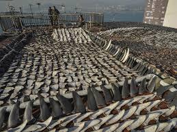 roof fin u0026 tiburon shark roof fin sc 1 st tuscani customs