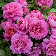 princess anne david austin roses