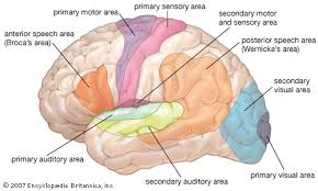 What Portion Of The Brain Controls Respiration Human Sensory Reception Britannica Com