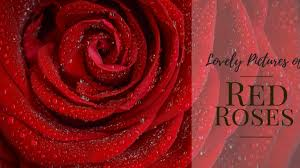 wallpaper flower red rose 50 lovely pictures of red roses