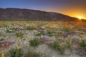 california desert u0027super bloom u0027 delights nature lovers