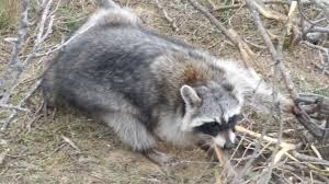 raccoon trapping wolfer nation 2 0