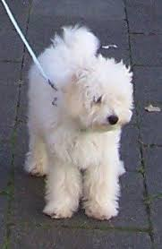 1 month old bichon frise best 25 bichon bolognese ideas only on pinterest small dogs