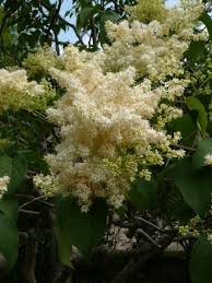 ivory silk japanese tree lilac okanagan xeriscape association