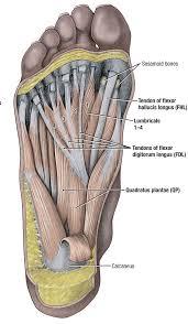Calcaneus Anatomy Duke Anatomy Lab 15 Foot