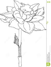 black and white sketch of a daffodil stock illustration image