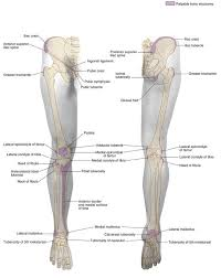 Knee Bony Anatomy Duke Anatomy Lab 2 Pre Lab Exercise