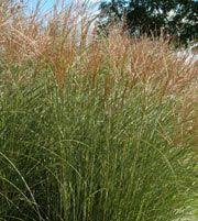 miscanthus sinensis gracilimus maiden grass i want this out