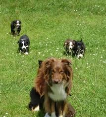 running with australian shepherd puppy meet riverbank australian shepherds riverbank farm u0027s working dogs
