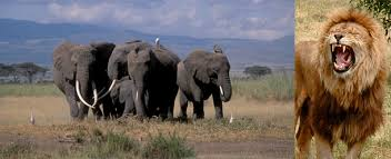 Blind Men And The Elephant Story For Children Older Elephants Know The Best Anti Lion Moves Not Exactly Rocket