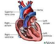 External Heart Anatomy External Heart Anatomy And Cell Biology 315 With Mallot At