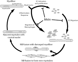 Tissue Renewal Regeneration And Repair Improved Muscle Healing Through Enhanced Regeneration And Reduced