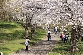 sakura hanami cherry blossoms in toronto u0027s high park ramblin u0027 boy