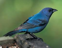 How To Attract Indigo Buntings To Your Backyard Indigo Bunting Mdc Discover Nature