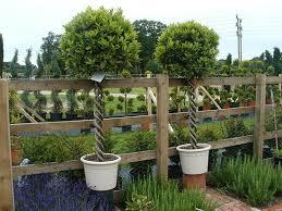 Laurel Topiary - laurus nobilis bay laurel triple helix standard 35l 150cm