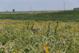 native colorado plants strips of native prairie plants could reduce pollution runoff from
