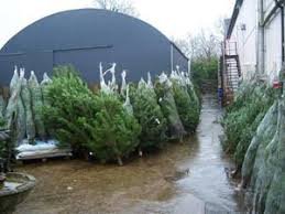 trees for sale buy real trees belfast northern